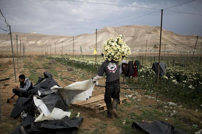 In this Thursday, Jan. 9, 2014 photo, a Palestinian farmer carries a pile of flowers in the fields of west bank Jordan valley Jewish settlement of Petsael. For Israeli farmers in the West Bank's Jordan Valley, an international campaign to boycott settlement products has turned almost overnight from a distant nuisance into a harsh economic reality. The export-driven income of growers in the valley's 21 settlements dropped by 15 percent, or $29 million dollars, last year because Western European supermarket chains trying to avoid political entanglements largely stopped buying the valley's grapes, dates and sweet peppers. (AP Photo/Oded Balilty)