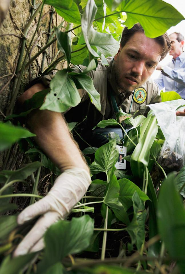 MIAMI, FL - SEPTEMBER 15:  Dr. Trevor Smith, Florida Department of Agriculture, looks for Giant African land snails as he works on eradicating a population of the invasive species in Miami-Dade County on September 15, 2011 in Miami, Florida. The Giant African land snail is one of the most damaging snails in the world because they consume at least 500 different types of plants, can cause structural damage to plaster and stucco, and can carry a parasitic nematode that can lead to meningitis in humans.  The snail is one of the largest land snails in the world, growing up to eight inches in length and more than four inches in diameter.  (Photo by Joe Raedle/Getty Images)