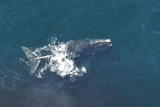 This North Atlantic right whale was spotted northeast of the Magdalen Islands in the Gulf of St. Lawrence on Sunday. (DFO Science-Aerial Survey Team - image credit)