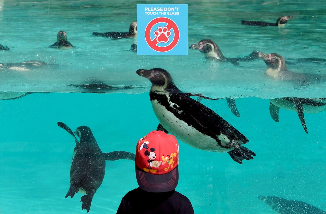 A visitor looks at penguins swimming, at the London Zoo on the first day of its reopening since lockdown restrictions ease, during the spread of the coronavirus (COVID-19) disease in London, Britain, June 15, 2020. REUTERS/Toby Melville     TPX IMAGES OF THE DAY