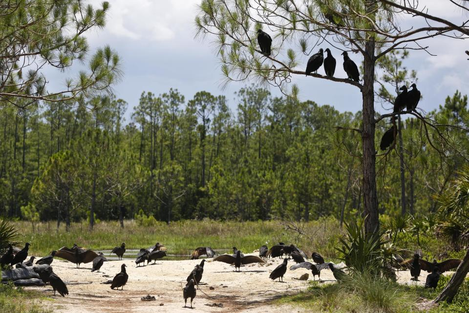 FILE - In this Thursday, June 7, 2018, file photo, a committee of black vultures sit atop of a tree at the Panther Island Mitigation Bank, near Naples, Fla. A federal judge has thrown out Trump-era rule that ended federal protections for hundreds of thousands of small streams, wetlands and other waterways across the country. (AP Photo/Brynn Anderson, File)