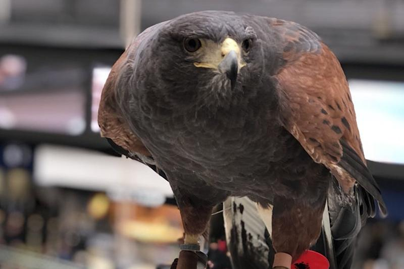 Aria: the harris hawk will patrol the station in a bid to scare off pigeons: PA