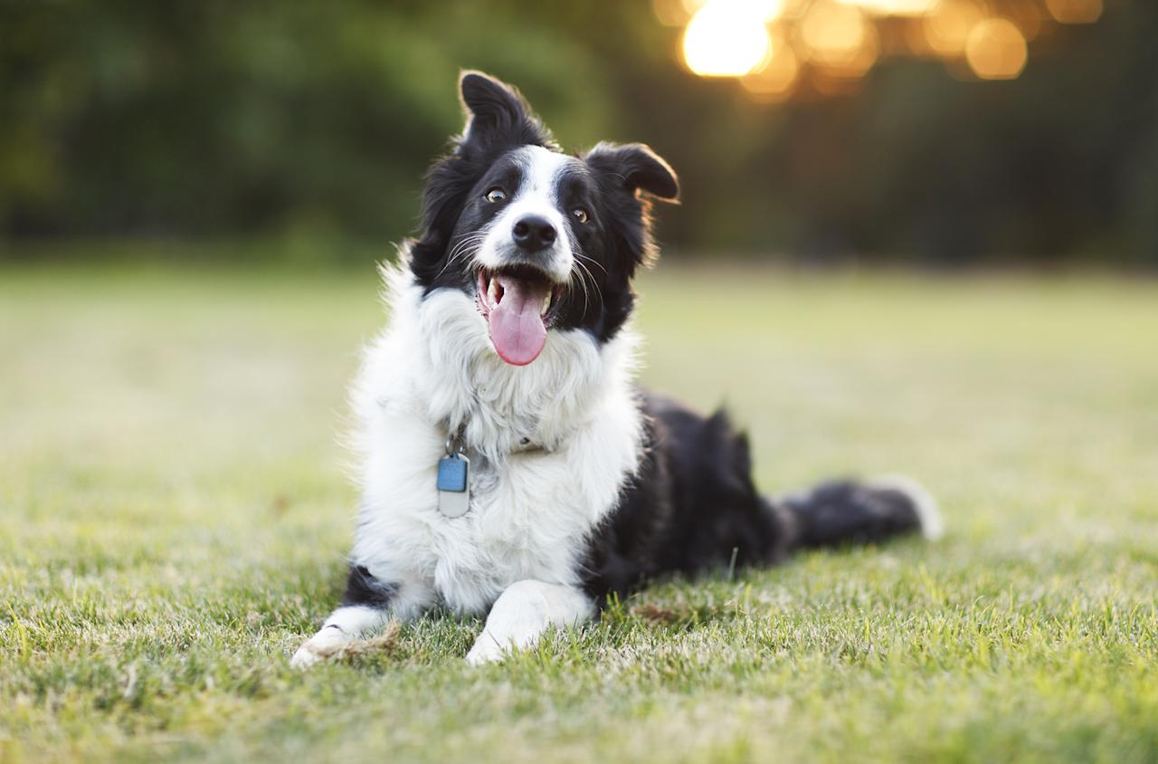 "<p>Coming in at the top of the canine class is the <a href=""https://www.akc.org/dog-breeds/border-collie/"">border collie</a>. This high-energy herder can learn a new command in under five seconds and follow it at least 95 percent of the time. This breed, however, desperately needs rigorous exercise.</p>"