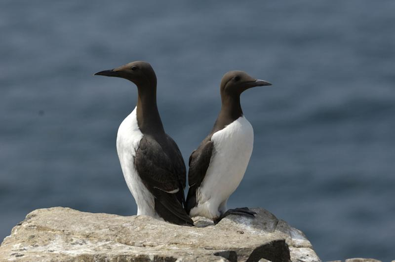 Two common murres. (Photo: mauribo via Getty Images)