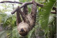 """<p>While they do groom and lick the algae off from time to time, the green goo can support a whole community of insects without the sloth moving a muscle. According to National Geographic<a href=""""https://kids.nationalgeographic.com/explore/5-reasons-why-hub/5-reasons-sloths-are-spectacular/"""" rel=""""nofollow noopener"""" target=""""_blank"""" data-ylk=""""slk:, a typical sloth can play host to a hundreds of moths"""" class=""""link rapid-noclick-resp"""">, a typical sloth can play host to a hundreds of moths</a>, beetles, cockroaches and worms.<br></p>"""