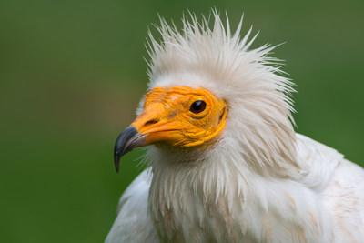 Egyption vulture populations are in severe decline according to the IUCN Red List of Threatened Species.