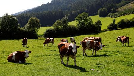 FILE PHOTO: A group of Simmental cattle graze on a farm near Seckau, Austria, July 29, 2017.   REUTERS/Leonhard Foeger/File Photo