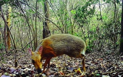 <span>The first photos and footage of a silver-backed chevrotain, which was last recorded more than 25 years ago</span> <span>Credit: AFP </span>