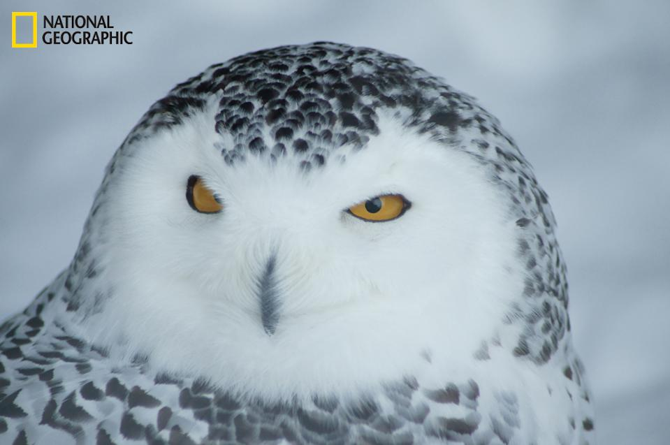 "Many owls and eagles stay captive at the Mountsberg Conservation area in Ontario, Canada. This snowy owl is a majestic animal to watch, so silent and stealth. Such beautiful feathers and wide open eyes create a serious mood and fierce look. (Photo and caption Courtesy Patrick Marcoux / National Geographic Your Shot) <br> <br> <a href=""http://ngm.nationalgeographic.com/your-shot/weekly-wrapper"" rel=""nofollow noopener"" target=""_blank"" data-ylk=""slk:Click here"" class=""link rapid-noclick-resp"">Click here</a> for more photos from National Geographic Your Shot."