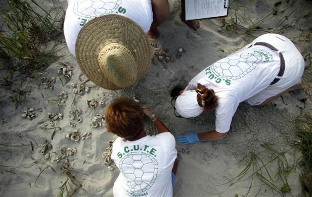 Volunteers take an inventory of turtle eggs hatched from a nest in Litchfield Beach, South Carolina August 16, 2012. The group secures and marks an average of 100 nests during a season that goes from May through October.