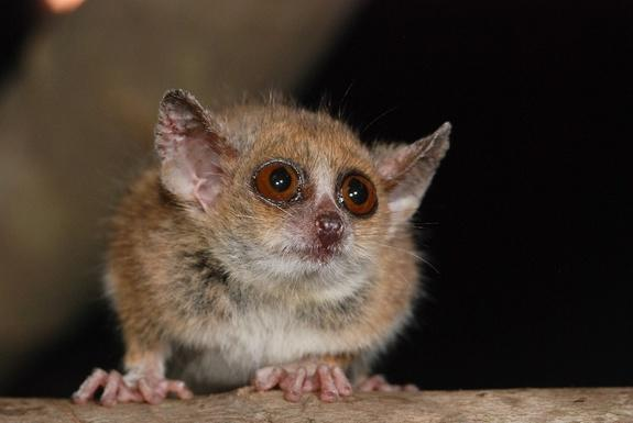 The grey mouse lemur (<i>Microcebus murinus</i>)