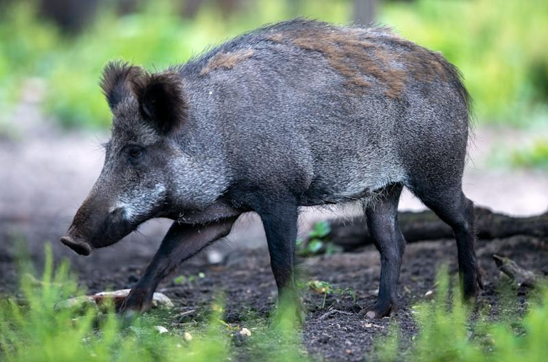 19 June 2020, Mecklenburg-Western Pomerania, Kaliss: Wild boars are standing in a game preserve. In the northeast there are too many wild boars according to the forestry authorities. Not only because of the threat of African swine fever, the animals are increasingly hunted. Photo: Jens Büttner/dpa-Zentralbild/ZB (Photo by Jens Büttner/picture alliance via Getty Images)