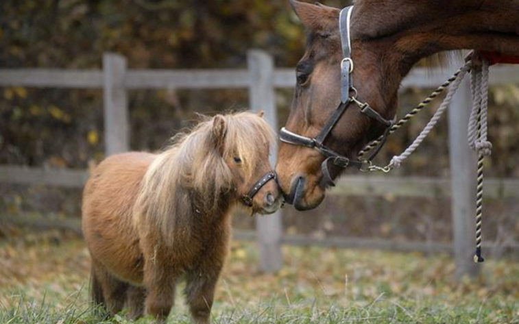 Britain's smallest and tallest horse meet - Credit: Alamy