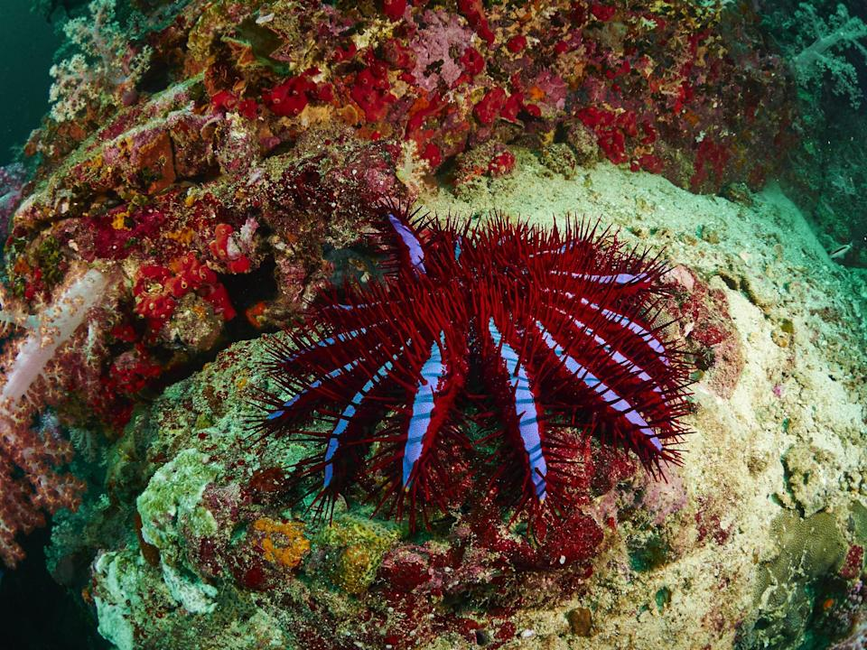 Crown-of-thorns starfish feed on coral and contribute to the decline of reefs (Getty Images)