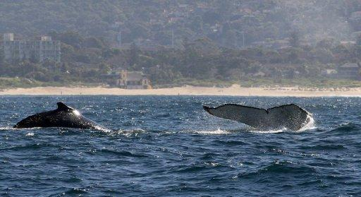 Humpback whales are seen rising out of the water in 2008 off the coast of Sydney. Australia has announced it will create the world's largest network of marine parks to protect ocean life, with limits placed on fishing and oil and gas exploration off the coast