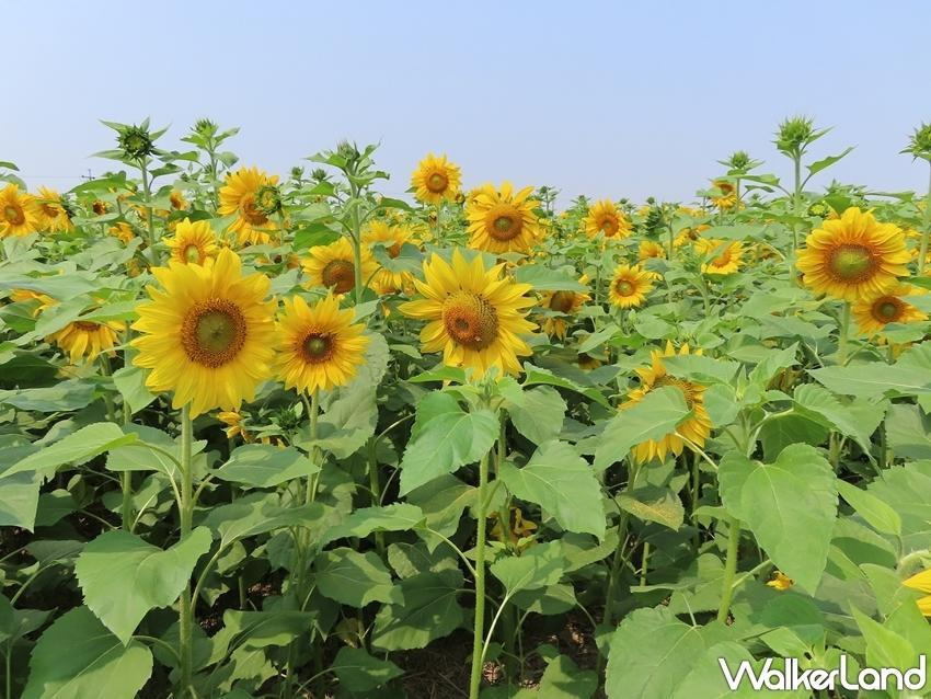 A field of bright sunflowers in the Dongshan District also provides a great photo op. (Photo courtesy of Taipei Walker)