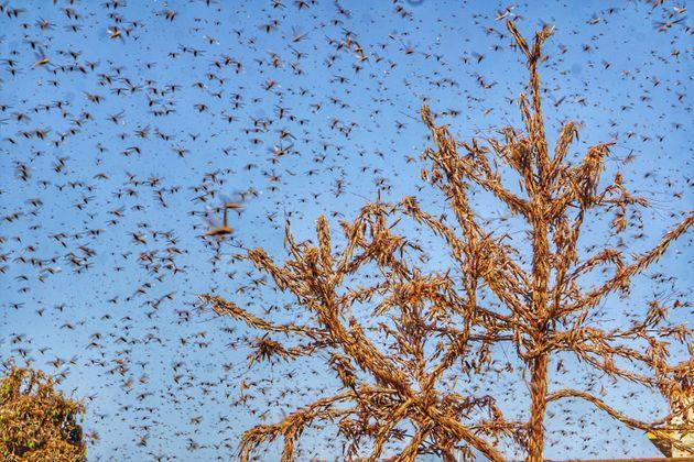 Swarms of locust in the residential areas of Jaipur on Monday, May 25, 2020.