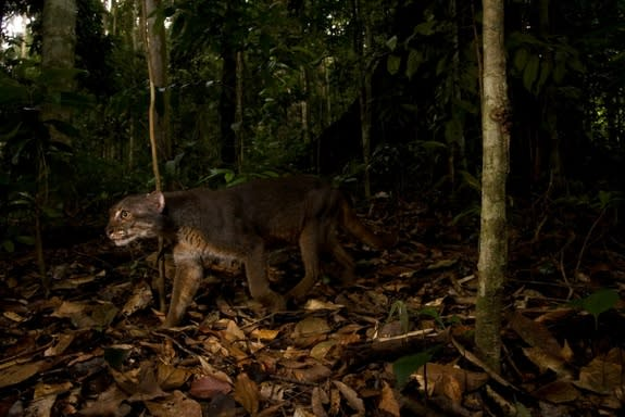 An elusive bay cat was recently caught on camera in Borneo