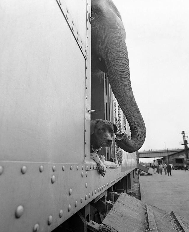 <p>An elephant and a dog peer apprehensively from a freight car before debarking at the Harlem River freight yards in New York City, April 1, 1963. The animals were on the Ringling Brothers and Barnum and Bailey Circus train arriving in New York for the opening of the Circus at Madison Square Garden on April 3. (AP Photo/Goldberg) </p>