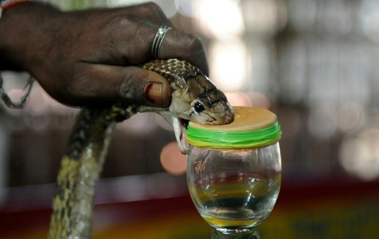 An Indian snake-catcher extracts venom from a cobra. Snake bites are common in rural areas