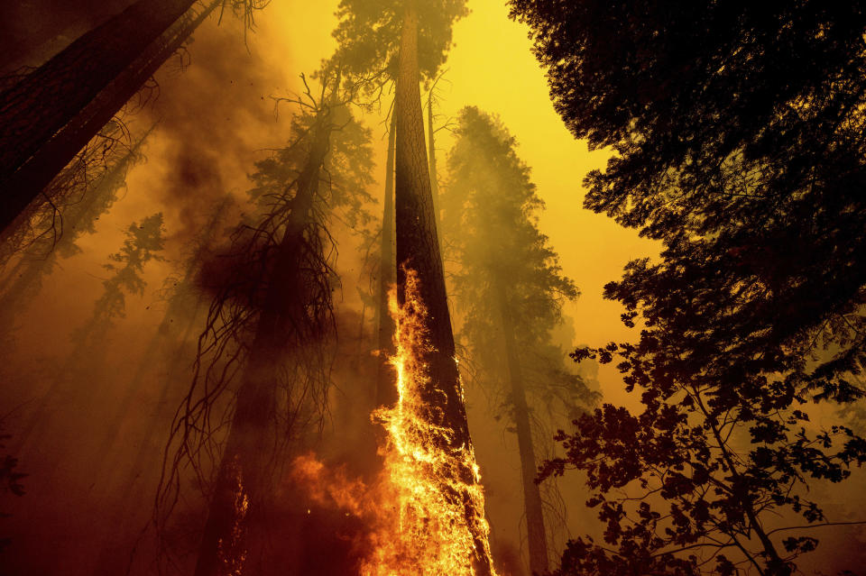 FILE - In this Sunday, Sept. 19, 2021, file photo, flames burn up a giant tree as part of the Windy Fire in the Trail of 100 Giants grove in Sequoia National Forest, Calif. California firefighters battled fast-growing forest fires threatening giant sequoias and small communities in the Sierra Nevada on Monday, Sept. 27, and worked to fully surround a suspected arson wildfire that destroyed homes the week before. More than 2,000 firefighters were on the lines of the Windy Fire burning on the Tule River Indian Reservation and in Sequoia National Forest, including Giant Sequoia National Monument. (AP Photo/Noah Berger, File)