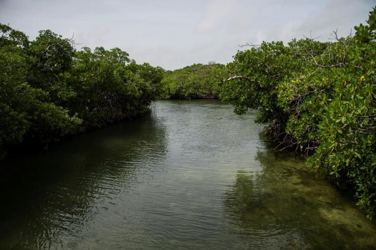 Indigenous populations, fishermen and real estate developers all value mangrove forests but have different ideas of what to do with them (AFP/Pedro PARDO)