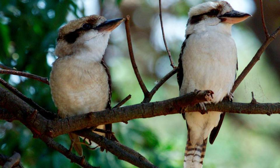 A pair of kookaburras sit on a branch