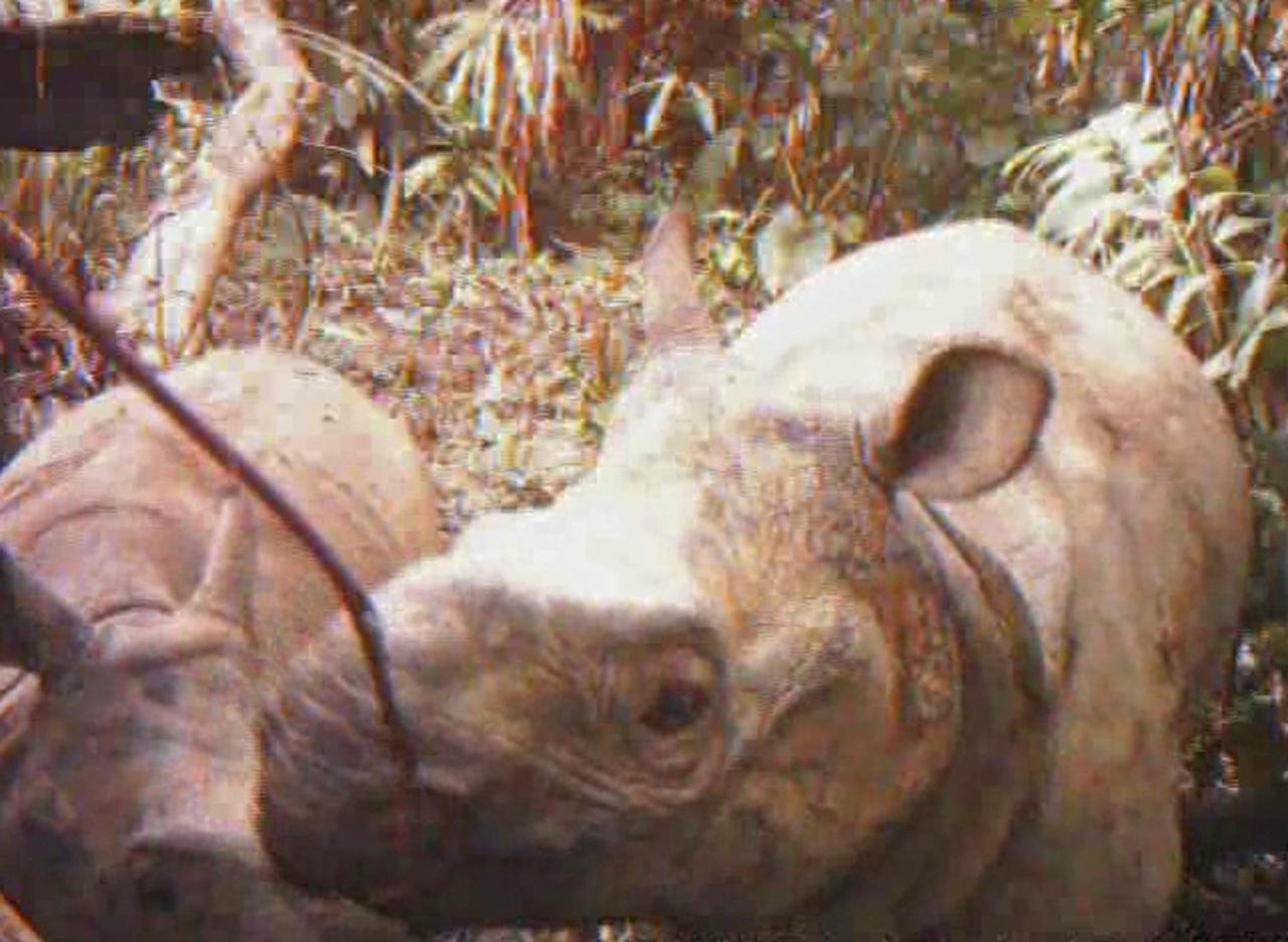 In this undated frame grabs released by WWF-Indonesia and Ujung Kulon National Park Authority, a female Javan rhino walks with her calf in Ujung Kulon National Park. Four of the world's most rare rhinoceroses were captured by camera traps installed in an Indonesian national park, an environmental group said Monday, Feb. 28, 2011. (AP Photo/WWF-Indonesia and Ujung Kulon National Park Authority, HO) NO SALES, EDITORIAL USE ONLY, NO ARCHIVES