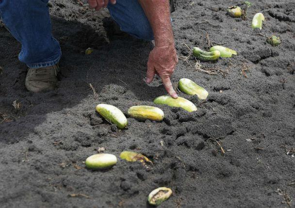 PHOTO: Hank Scott of Long & Scott Farms stands in a field of rotting cucumbers that he was unable to harvest due to lack of demand on April 30, 2020, in Mount Dora, Fla. (Joe Raedle/Getty Images)