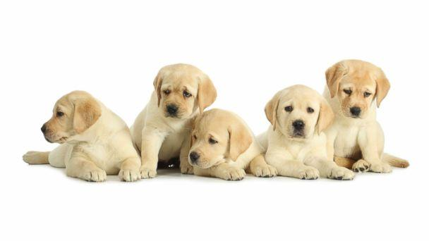 PHOTO: The Centers for Disease Control and Prevention said on Monday it is investigating an outbreak of campylobacter infections linked to contact with puppies sold through a national pet store chain. (Getty Images)