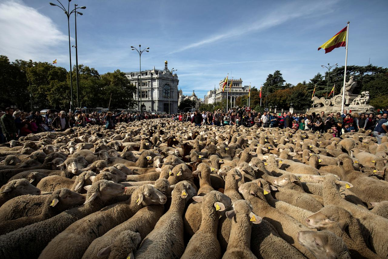 Hundreds of merino sheep are herded past the Cibeles Fountain, famous landmark of Madrid, Spain, October 22, 2017. REUTERS/Juan Medina     TPX IMAGES OF THE DAY