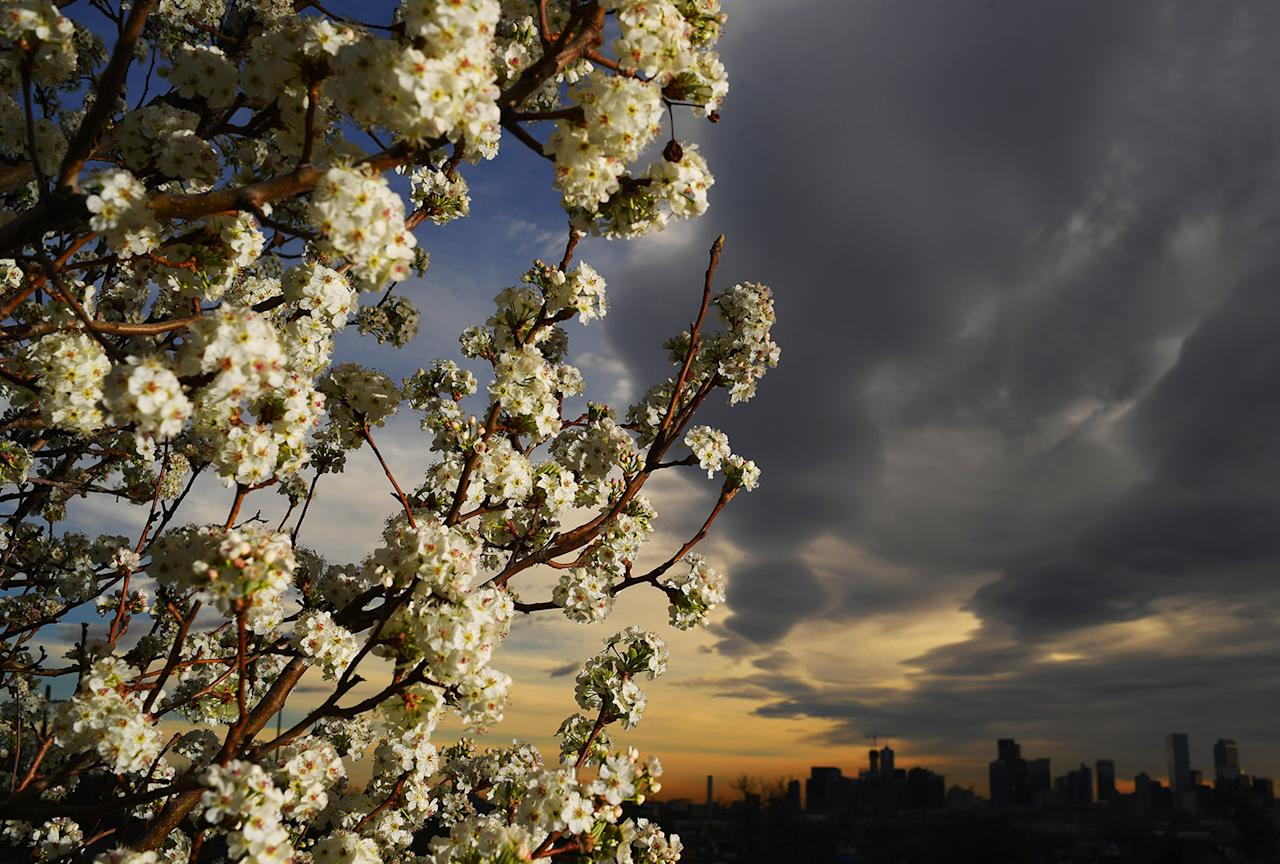 <p>A tree is in full bloom on the first day of spring on March 20, 2017 in Denver. (RJ Sangosti/The Denver Post via Getty Images) </p>