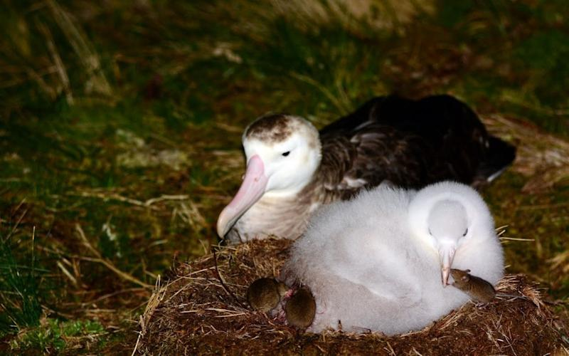 Mice gang up to attack albatrosses and their chicks on Gough Island -