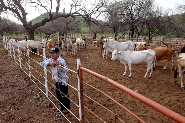 A ranch hand stands at a fence among cattle