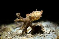 <p>The miniature-sized blue-ringed octopus crawls along the seabed near the coast of the Philippines.</p>