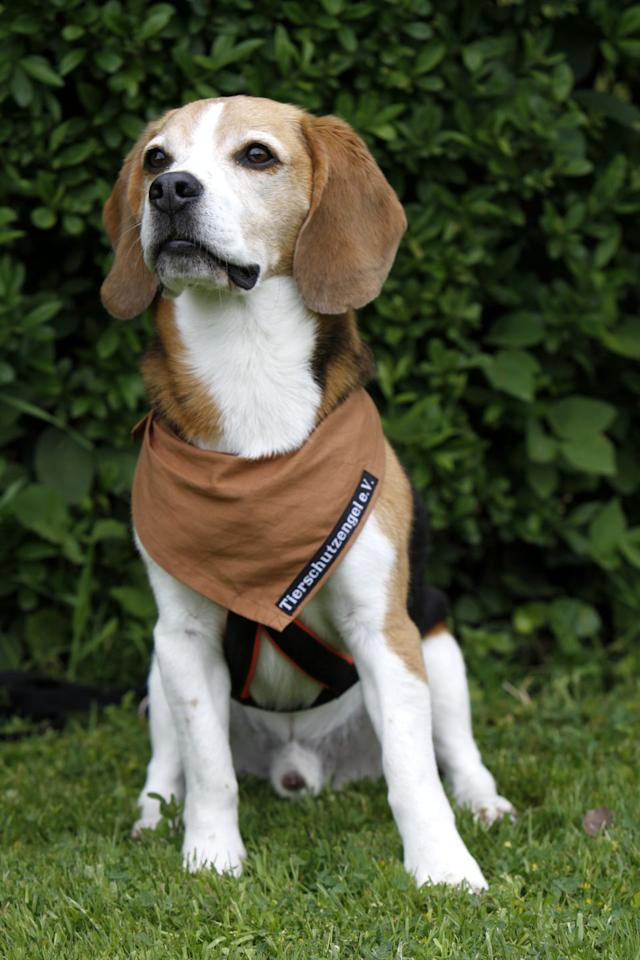 "<p>This guy might <em>look</em> like a Beagle, but American Foxhounds are <a rel=""nofollow"" href=""https://www.goodhousekeeping.com/life/pets/g20687419/famous-dogs-from-movies/"">much less common</a>. They can be pretty difficult to handle (if they don't get enough exercise, they'll destroy the house) so only experienced dog owners should adopt them. </p>"