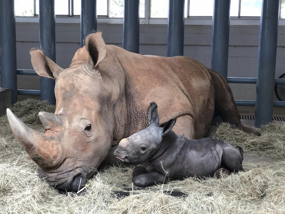 In this image provided by Walt Disney World, white rhinoceros Kendi, left, shows off a baby male rhino she gave birth to Sunday, Oct. 25, 2020, at Disney's Animal Kingdom at Walt Disney World Resort in Lake Buena Vista, Fla. The baby rhino was the result of a Species Survival Plan overseen by the Association of Zoos and Aquariums to ensure the responsible breeding of endangered species. (Walt Disney World via AP)