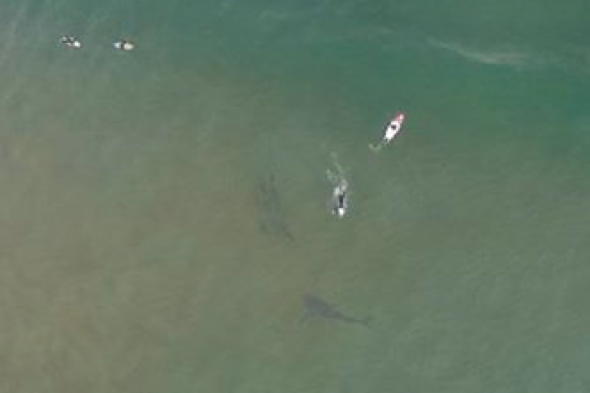Great white shark pictured right next to surfers in Australia