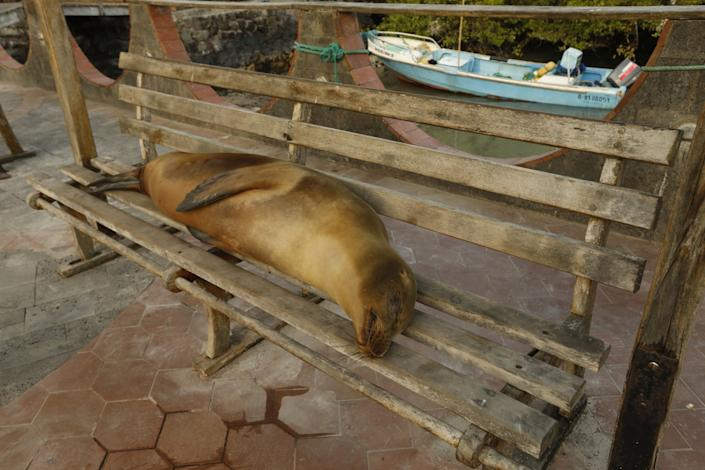 A sea lion rests on a bus stop bench in Puerto Ayora, where tourism is down dramatically due to the pandemic.
