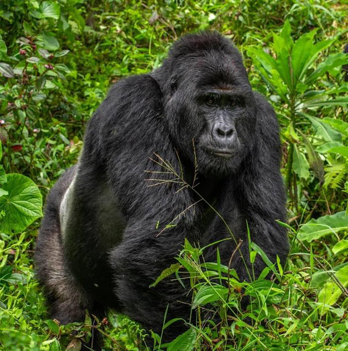 The Uganda Wildlife Authority have arrested four people over the death of Rafiki, the Silverback of Nkuringo Gorilla group in Bwindi Impenetrable National Park. (Uganda Wildlife Authority)