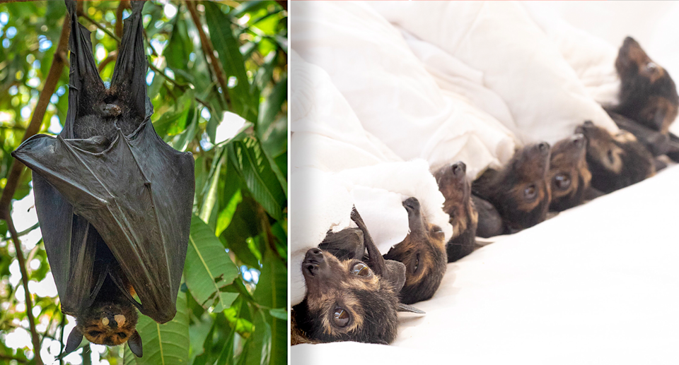 Left orphaned due to heatwaves, baby flying flying foxes were taken into care. Source: David White / HSI