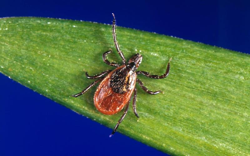 Ticks, which carry Lyme disease, are responsible for 30,000 cases in the US every year - AP