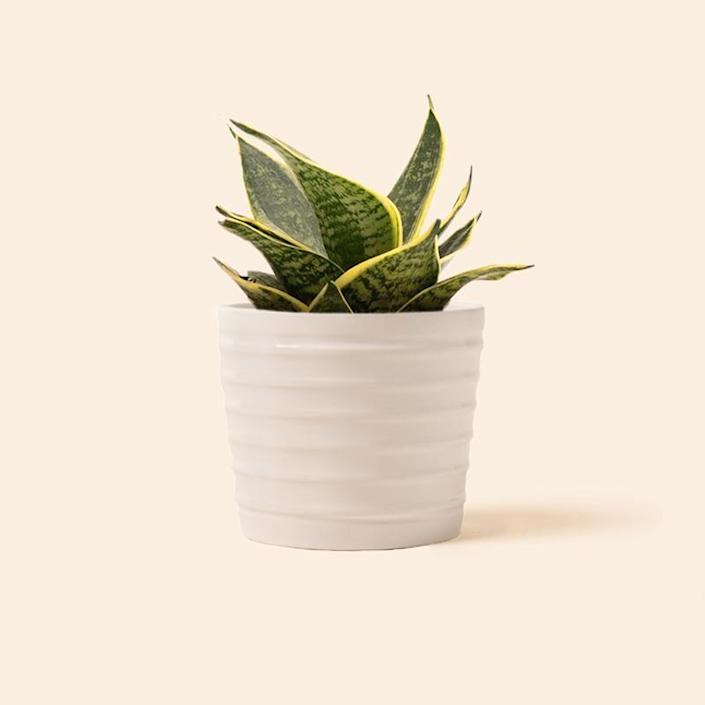"""<p>soilandclay.com</p><p><strong>$3.75</strong></p><p><a href=""""https://soilandclay.com/products/sansevieria-superba"""" rel=""""nofollow noopener"""" target=""""_blank"""" data-ylk=""""slk:Shop Now"""" class=""""link rapid-noclick-resp"""">Shop Now</a></p><p>When it comes to buying a plant for your bathroom, it's important to find a low-maintenance species that favors low light and high humidity levels. Fortunately, the popular snake plant ticks off all the boxes—and then some. Native to warmer climates like Africa and southern Asia, snake plants are essentially elevated succulents that require minimal upkeep. Bonus: They're also known to purify the air. </p>"""