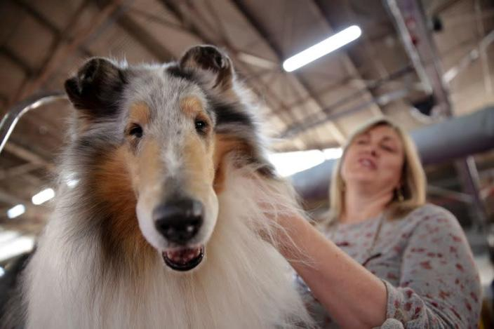 Connie DuBois grooms her collie dog, Saxson during the Westminster Kennel Club Dog Show in New York