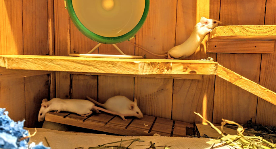 Three mice in a wooden cage.