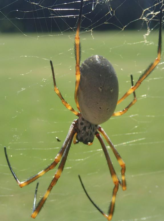 City Spiders Are Bigger, More Fertile Than Country Cousins