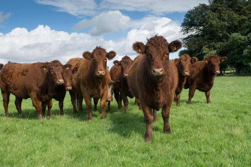 Livestock farming is estimated to contribute 15% of greenhouse gas emissions (Wayne Hutchinson/Farm Images/UIG via Getty Images)