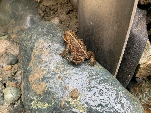 B.C.'s Ministry of Transportation is constructing a series of tunnels under the road network west of Duncan so that toads can safely migrate to breeding grounds at Wake Lake. (B.C. Ministry of Transportation and Infrastructure - image credit)