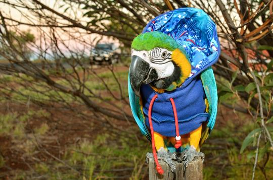 <p>Three-year-old Macaw called Bubba Cyan loves staying warm in the Australian Winter by wearing hoodies and jumpers which are put on by her owner Ed Remedio. (Ed Remedio/Caters News Agency) </p>