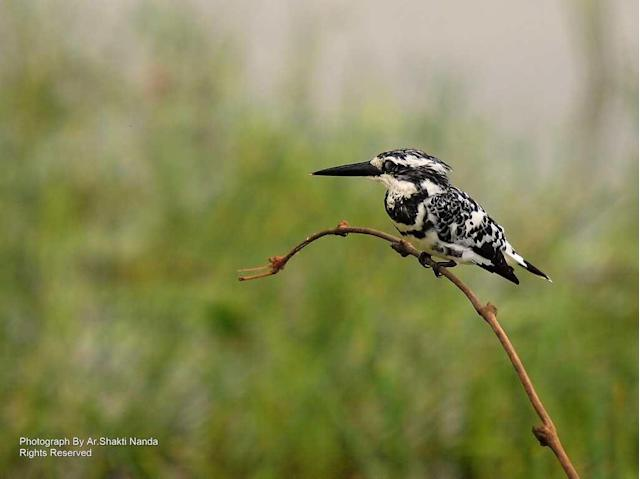 The <strong>Pied Kingfisher</strong> (<em>Ceryle rudis</em>) is an attractive member of its family that inhabits swamps, lakes and marshes. It can also be seen near coastal backwaters.
